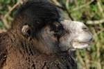 Bactrian Camel (Camelus ferus)